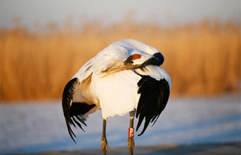 In pics: artificially-bred red-crowned cranes in Qiqihar, NE China's Heilongjiang