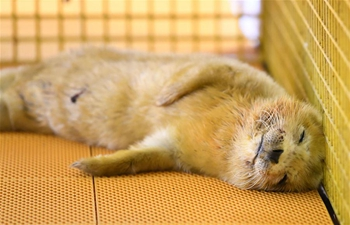 Seal cub born at Harbin Polarland, NE China's Heilongjiang