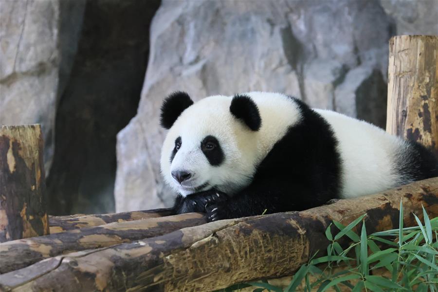 上海:大熊貓寶寶等你來取名