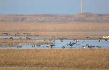 Migrant birds seen at wetland in Momoge National Nature Reserve in Jilin