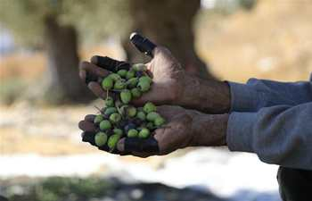 Palestinian farmers collect olives at olive orchard in West Bank city of Hebron