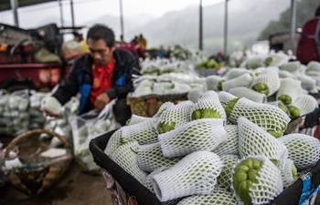 Farmers harvest chayotes in Guizhou