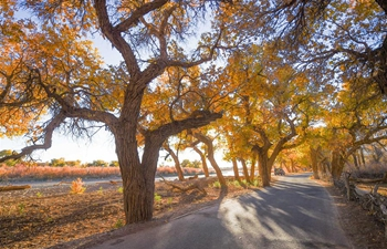 Autumn scenery of populus euphratica forest in Inner Mongolia
