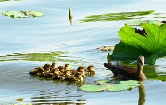 杭州:西湖小鴛鴦誕生第4窩