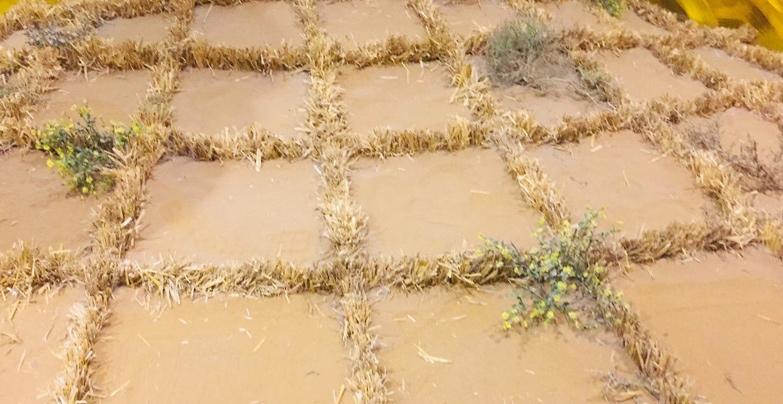 黃沙上鋪上一米見方的麥草格子