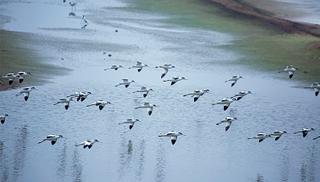 首批越冬白鹤飞抵鄱阳湖