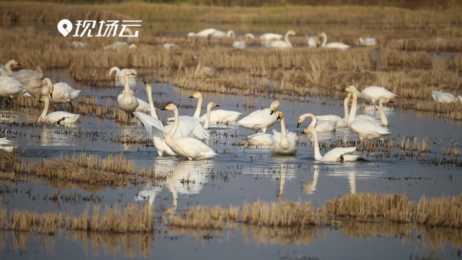 """""""長江之腎""""迎來候鳥 洞庭湖濕地變成""""天鵝湖"""""""