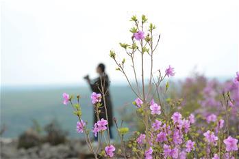 阿爾山:杜鵑花開引客來