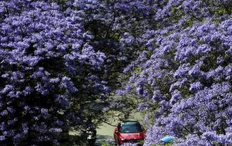藍花楹盛放昆明街頭 市民穿行浪漫花街