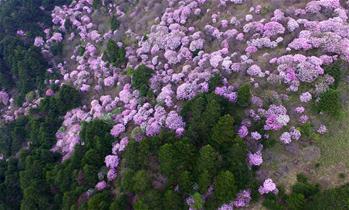 神農架高山杜鵑盛開