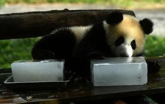 動物園為大熊貓送冰塊消暑