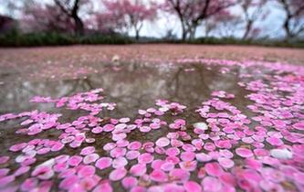 杭州:雨後梅花落滿地