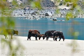 西藏雅尼國家濕地公園春色怡人