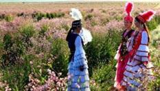 新疆阿勒泰2萬余畝戈壁變花海惹人醉