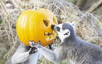 玩瘋了 小狐猴把南瓜當帽子戴