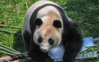 """大熊猫""""趴冰""""消暑"""