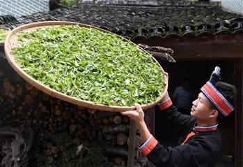 秋茶飄香大瑤山