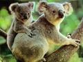 澳大利亞對將近七百只考拉執行安樂死