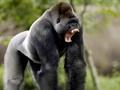 兩類亞型艾滋病毒確認源自大猩猩