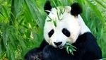 """大熊貓""""囡囡""""接受腸梗阻手術"""