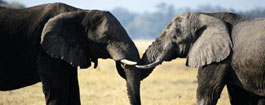 大象的合作技巧