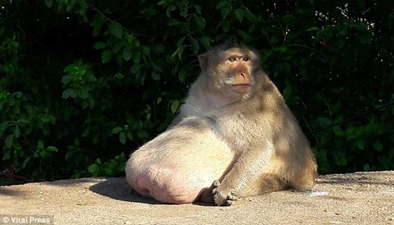 泰國猴子胖成豬