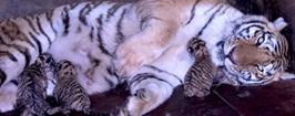 野生動物園喜迎三只虎寶寶