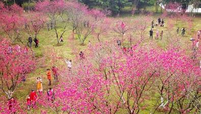广西贺州:春暖桃花开