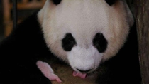 全球最小大熊貓幼仔平安出生