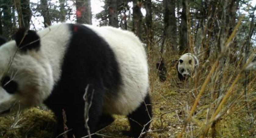 四川:拍攝到雌性大熊貓帶崽活動影像