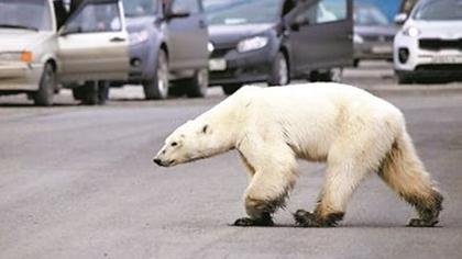 俄羅斯:北極熊闖入城市