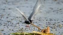 內蒙古:南海子濕地候鳥進入育雛季節
