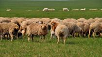 天祝草原上比賽剪羊毛!到底不同在哪裏?