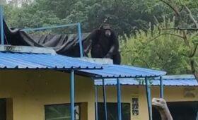 合肥動物園一黑猩猩逃脫 特警制服