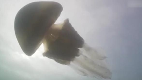 潛水員英海底遇桶水母 如人大小