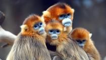 今年金絲猴繁育創十年來最佳紀錄