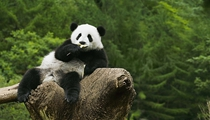 """大熊貓""""姐妹花""""安然度暑"""