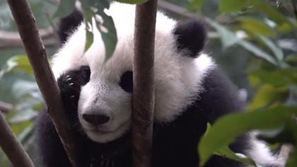 大熊貓寶寶的日常
