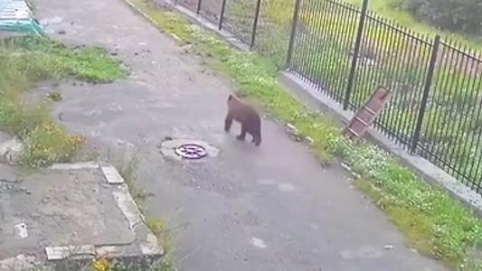 俄羅斯:多地熊出沒 專家呼吁勿給熊投食