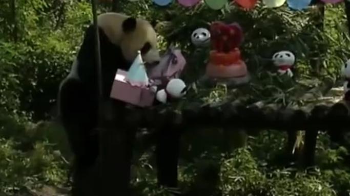 """四川:13歲了!大熊貓淘淘開""""生日派對"""""""
