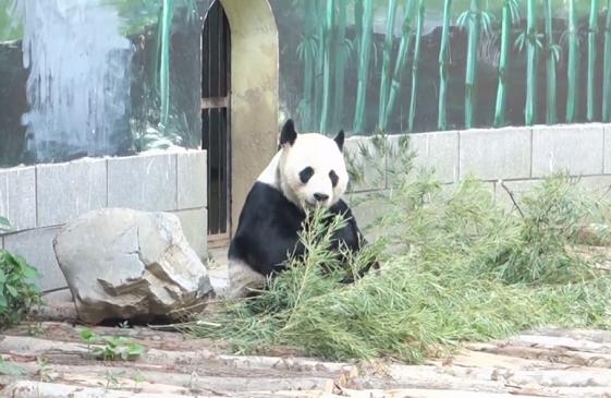 """動物避暑有妙招!猛虎吃""""冰棒"""" 熊貓吹空調"""