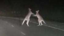 澳大利亞:袋鼠佔路打鬥 難解難分