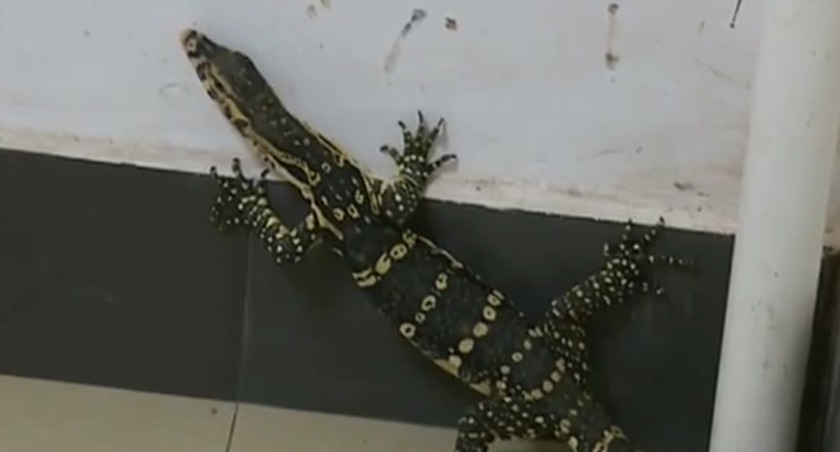 雲南普洱:巨蜥突訪咖啡店 眾人救助後放生