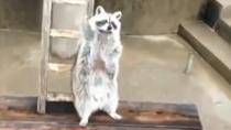 """小浣熊舉手示意:""""請朝這邊投喂"""""""