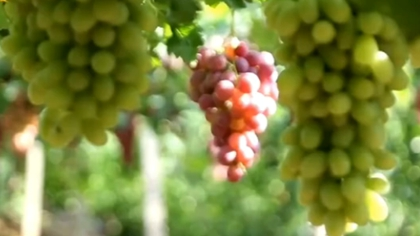 第三屆延懷河谷葡萄文化節開幕
