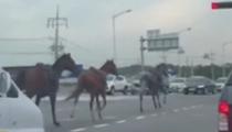 亂入!誤闖車道 韓三匹駿馬高速公路疾馳