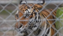 惋惜! 命運多舛 泰寺廟被解救老虎大量死亡