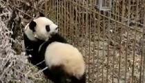 中國大熊貓保護研究中心:科技助力大熊貓國家公園建設