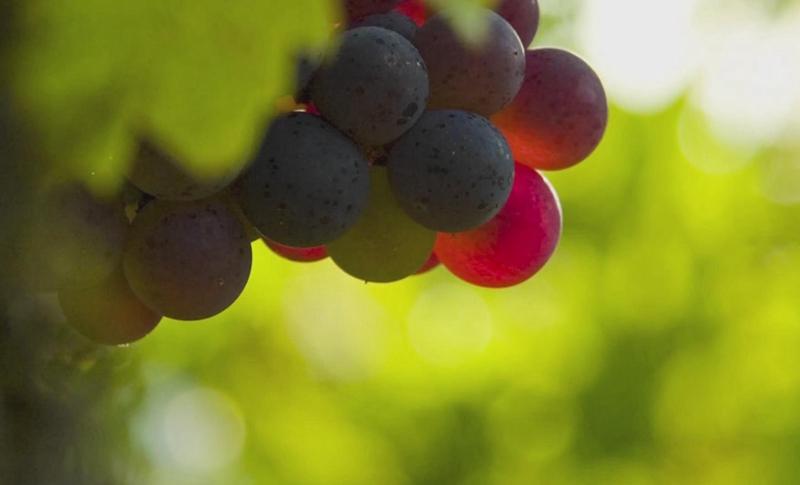 河西走廊的葡萄熟了