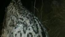 青海:雪豹夜闖牧民家啃食耗牛